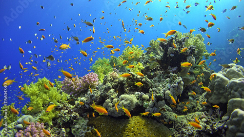 Obraz na Szkle .Tropical Fish on Vibrant Coral Reef