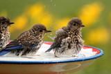 Baby Bluebirds splash and play in the birdbath.