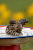A juvenile Eastern Bluebird plays in the bird bath.