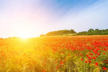 red poppy field in morning sun