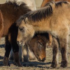 Pferde stecken die Köpfe zusammen