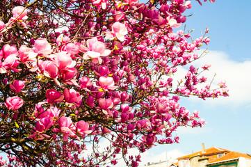 Magnolienblüte in Porto - Portugal