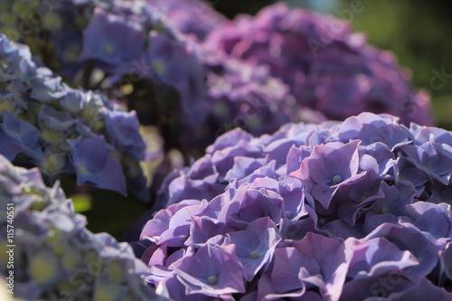 Aluminium Hydrangea Détail d'hortensias violets