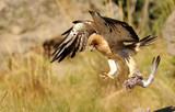 Aguilacalzada en vuelo con presa