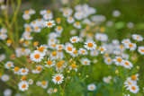 wild group of camomile