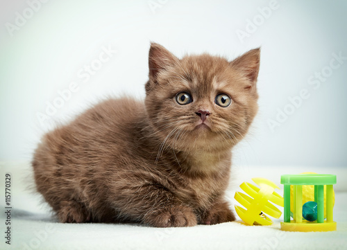 Poster portrait of brown british kitten