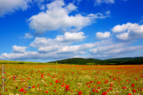 Fototapeta Wild poppy flowers on blue sky background.
