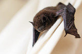 common pipistrelle (Pipistrellus pipistrellus) a small bat on a white curtain, copy space - 115828161