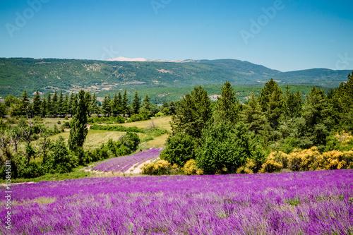Foto op Canvas Lavendel Champs de lavandes et Mont Ventoux sur la route de Sault