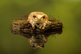 Amazon Milk frog sat on a mossy branch in a pond with reflection and green background.