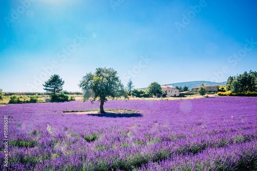 obraz lub plakat Le vieil arbre dans le champ de lavandes en Provence