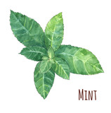 mint leaves on white background, watercolor painting, realistic illustration - 115898776