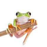 Lemur leaf frog on white background