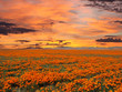 California Poppy Field With Sunrise Sky