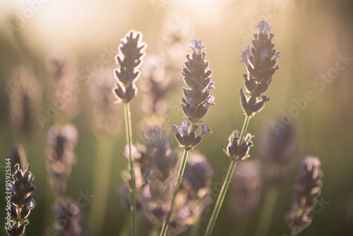 obraz PCV Lavender, close up of fresh lavender field