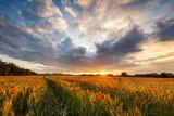 Mohnblumen im Getreidefeld mit Sonnenuntergang