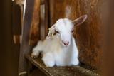 goatling on a  rural farm