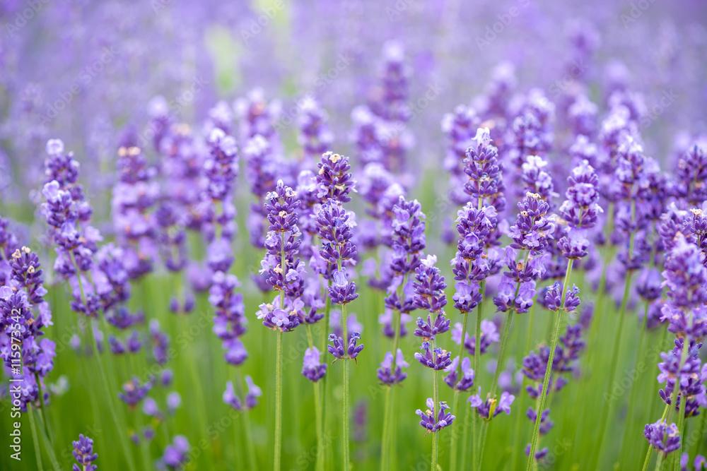K chenr ckwand aus glas mit foto meadow of lavender nature composition selective focus - Kuchenruckwand lavendel ...