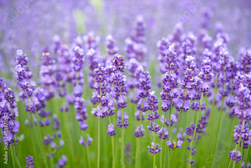 Foto op Plexiglas Lavendel Meadow of lavender. Nature composition. Selective focus