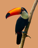 The Toucan Toco sitting on a branch isolated on peach. The toco toucan (Ramphastos toco), also known as the common toucan,  - 116005703