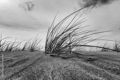 marram-grass-close-up-in-black-and-white