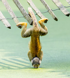 Squirrel monkey - drinking water up-side down