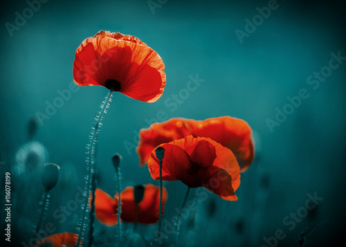 Amazing poppy field . Summer flowers . - 116078199
