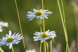 Fleurs sauvages marguerite