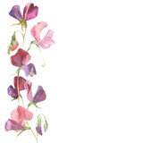 Vector background with watercolor flowers sweet pea and place for text.