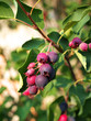Ripe amelanchier berries on bush