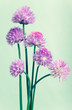 Bunch of chives on light green vintage  background