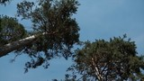 scenic view of very big and tall tree in the forest in the morning. looking up