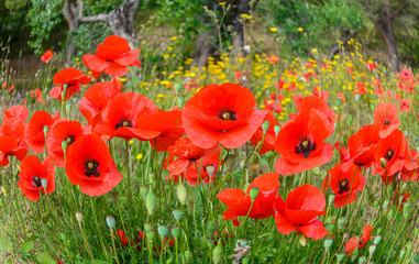 Beautiful background with red poppy flowers on countryside field, in summer season