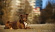 Border Collie mix breed dog lying down in the sand with city apartment buildings in the background