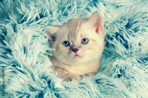 Cute little kitten peeking out from under the soft fir blue blanket