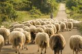 Sardegna, gregge di pecore al pascolo  - 116252325