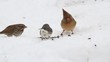 Flock of Songbirds in Snow including Northern Cardinals, Song Sparrows, White-throated Sparrows, Dark-eyed Junco and a Blue Jay