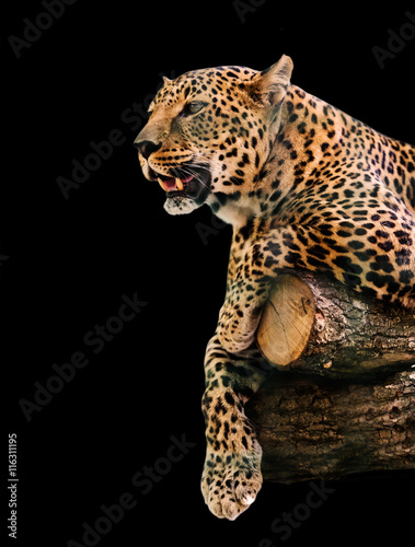 animal portrait leopard