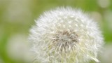 White dandelion in the wind close-up