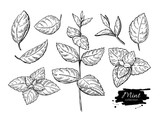 Mint vector drawing set. Isolated mint plant and leaves. Herbal - 116342170