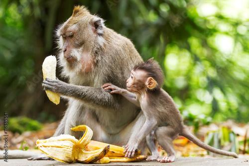 Papiers peints Bali Monkeys eat bananas. Monkey forest in Ubud, Bali, Indonesia.
