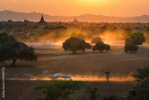 Herds of cattle in front of  pagodas at Bagan Poster
