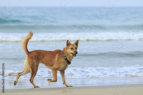 Fototapeta dog ,pet running at sea beach