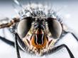 Bluebottle fly macro