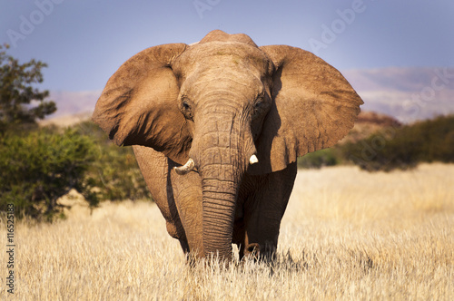 Poster Elephant in the savannah, in Namibia, Africa, concept for traveling in Africa an