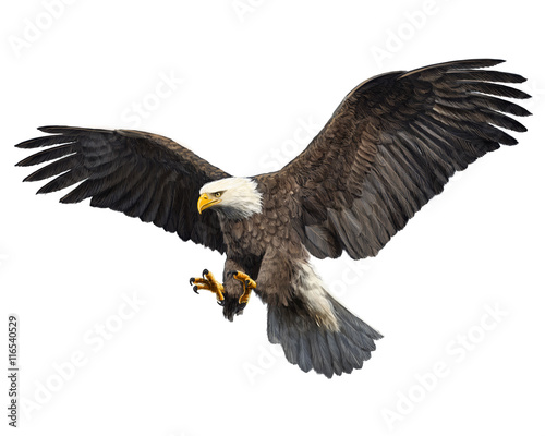 Bald eagle hand draw and paint colors on white background vector illustration. - 116540529