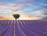 Fototapety Beautiful landscape of blooming lavender field