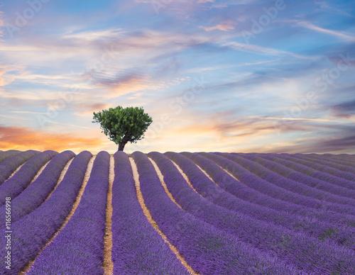 Naklejka Beautiful landscape of blooming lavender field