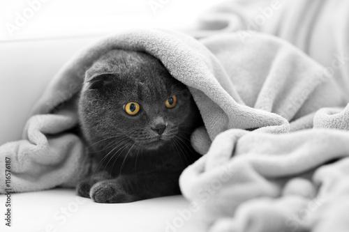 Naklejka Cute grey cat on sofa in the room