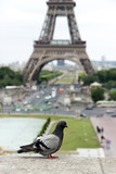 Pigeon on the wall in front of the Eiffel Tower, Paris, France